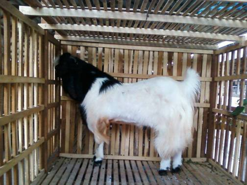 harga kambing etawa